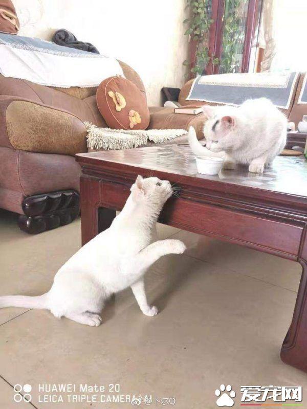 浪喵跟随回家 竟然和自家猫主子意外撞脸